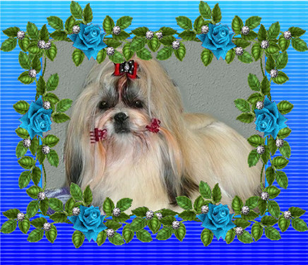 shih-tzu - ELLA  Born to Success (*12.1.2008)